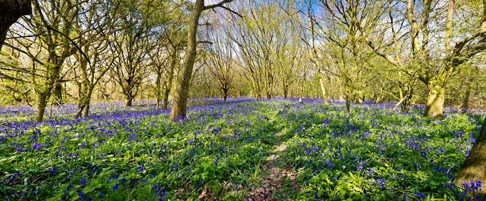 Yorkshire Bluebells