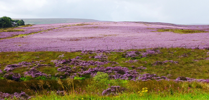Anne Brontë – Memory and the Haworth Heather