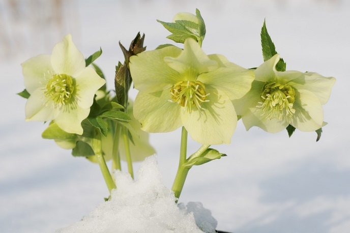 Christmas roses in the snow