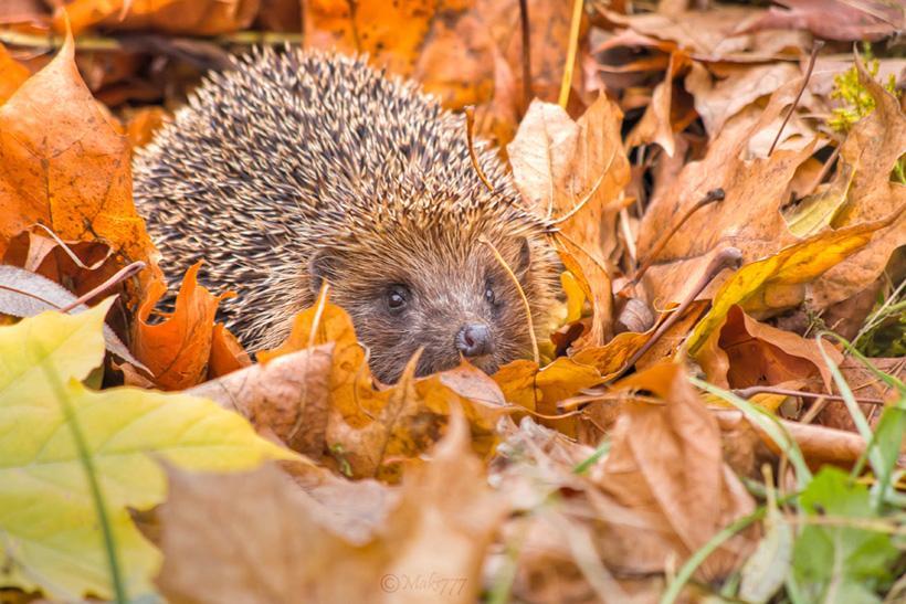 hedgehog Bronte