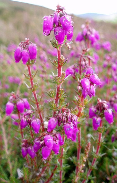 Heather bells