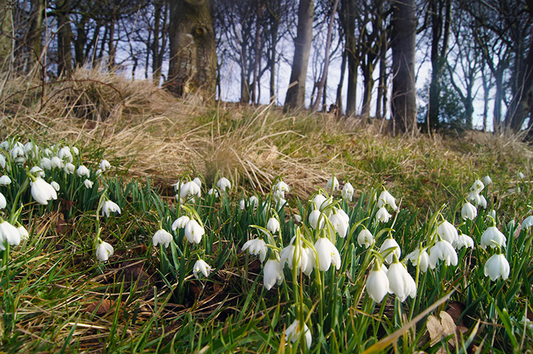 Haworth snowdrops
